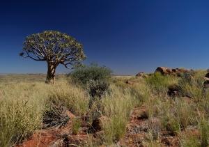 quiver-tree-259988_960_720.jpg